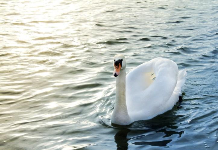 A swan in a lake