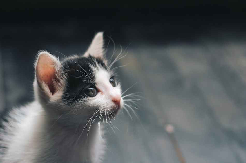 photo of white and black kitten