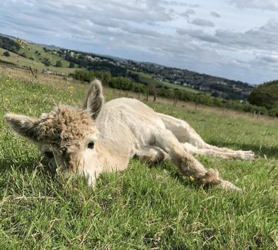 Mayfield Alpaca Farm