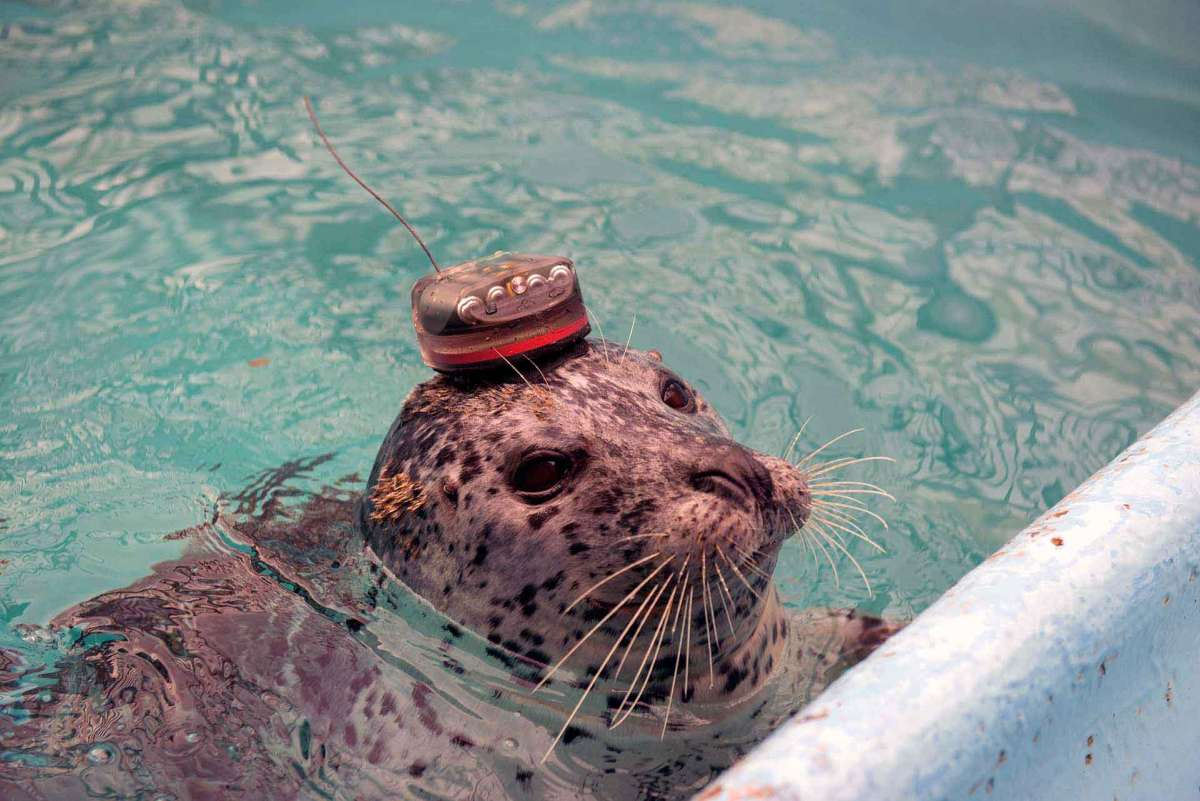 Beanies Reveal Seal Strategy