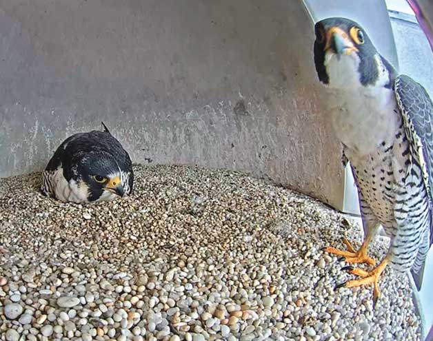 Meet Frida and Mango on Union County's Falcon Cam