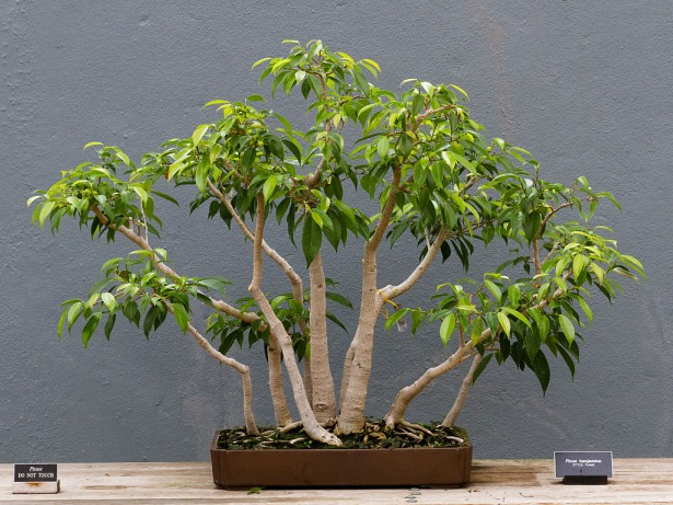 Indoor Bonsai Trees  Tender Care  UniqSourcecom
