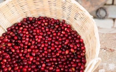 Conheça a variedade de café Mundo Novo
