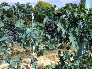 Abruzzo Wine Tour - Montepulciano