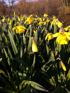 The daffs are out!