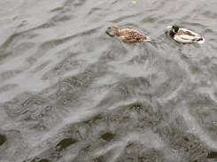 Mallards on a rather oily-looking Liffey
