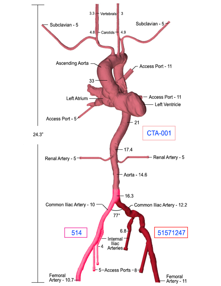 Heart Arteries Anatomy Model