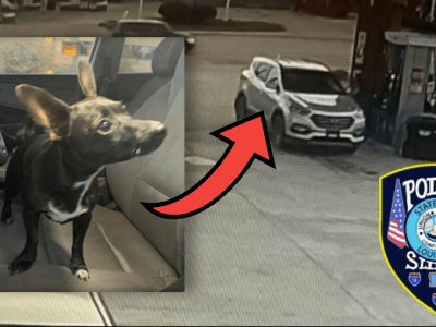Chihuahua Drives Car