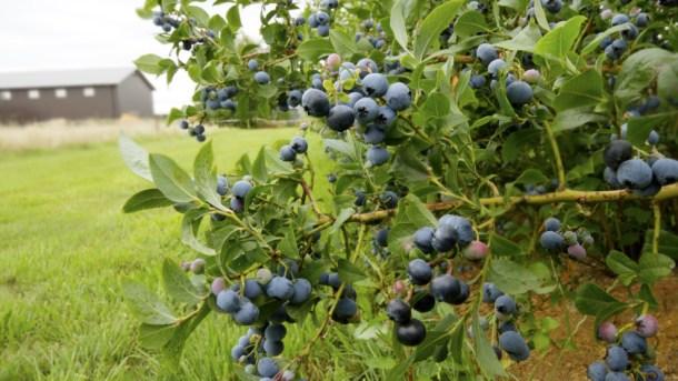 20180131-blueberry