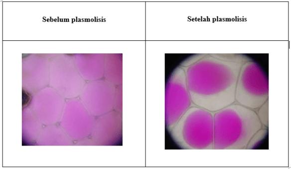 Gambar Rhoeodiscolour, sp sebelum dan setelah plasmolisis, Source: Wikipedia