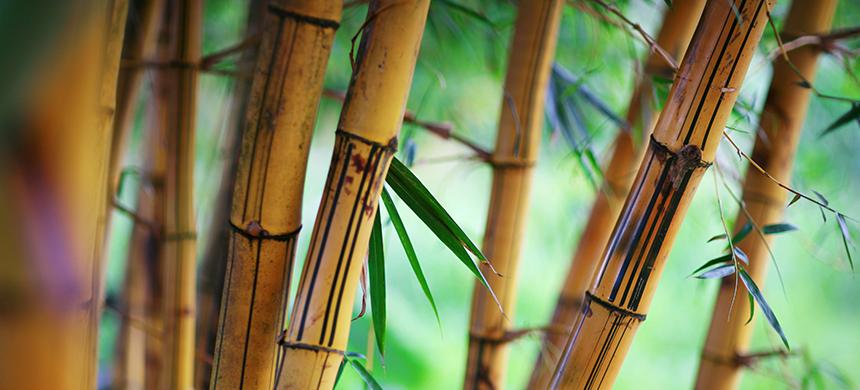 El necio, el roble y el bambú