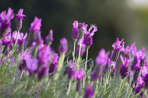 Bright purple lavendar in a sensory garden.