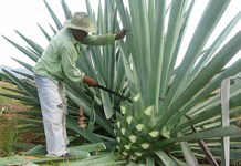 Mezcal Much Older Than Thought