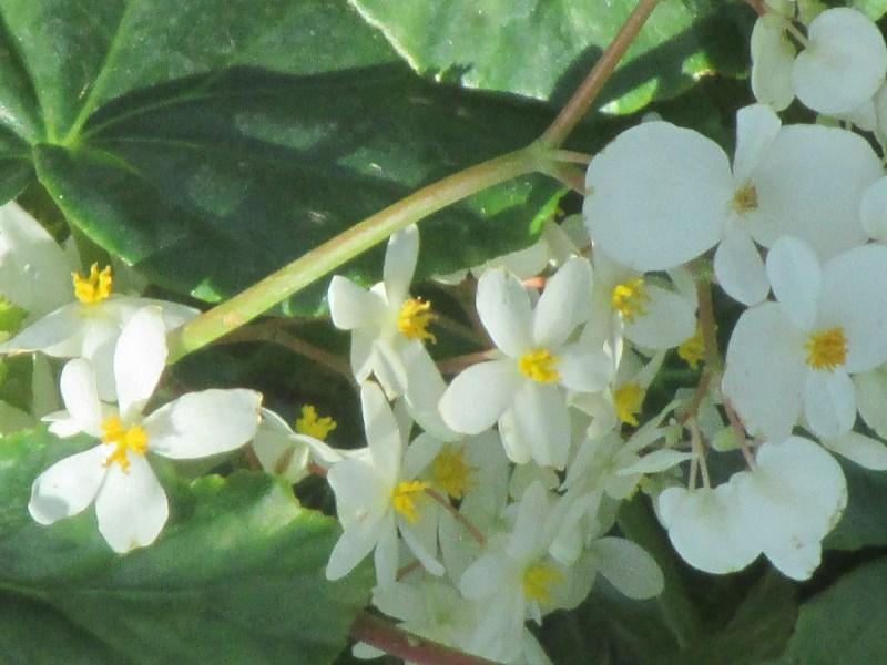 begonia odorata - white bloom