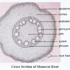 Plant Pith Diagram Cross Section How To Draw Basic Wiring Diagrams Anatomy Of Plants Is Surrounded By A Ring Alternating Xylem And Phloem Bundles They Also Have Pericycle Endodermis Cortex Epidermis