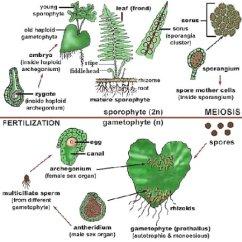 Horsetail Plant Diagram Yamaha Mio Soul Wiring Anatomy Of Plants