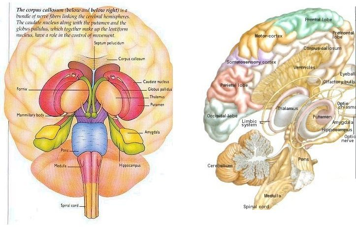 right lateral brain diagram wiring 4 way light switch nervous system