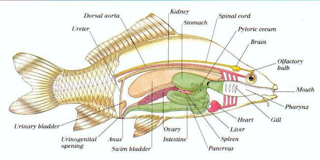 labelled diagram of a tilapia fish wiring electric fan new era anatomy animals nile picture