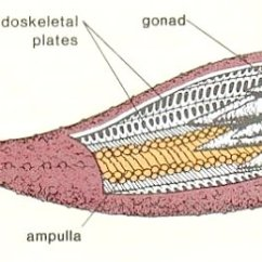 Starfish Anatomy Diagram Ear Tympanic Membrane Phylum Porifera Links