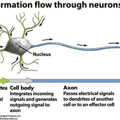 Basic Neuron Diagram Process Template Excel Nervous System