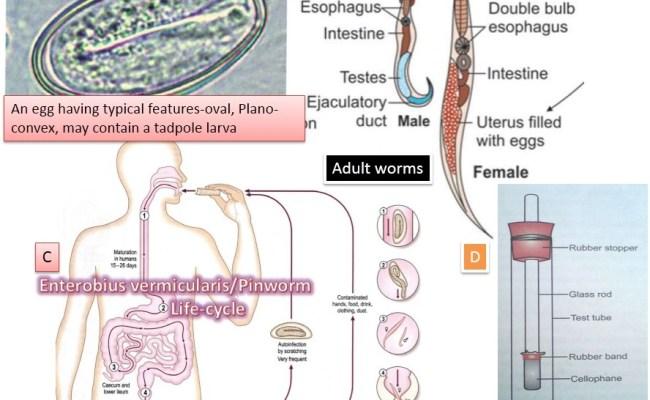 böjt enterobiosis