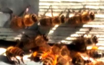 L'Université de l'Avenir participe à la sauvegarde des abeilles