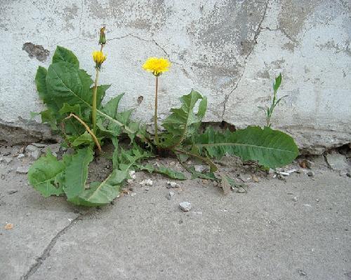 Одуванчик, растущий возле стены