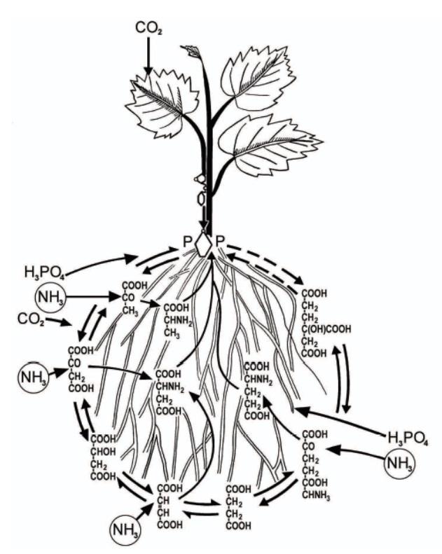 Метаболическая роль корней