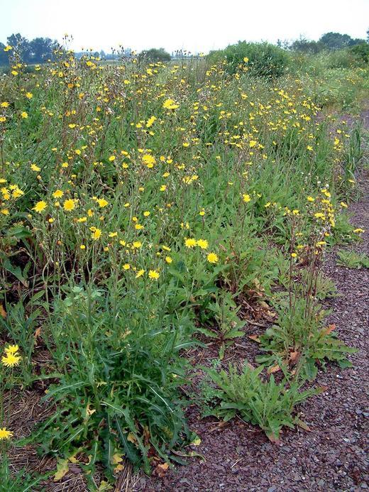Взрослое растение осота полевого