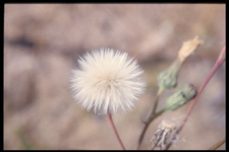 Созревшие семена осота полевого