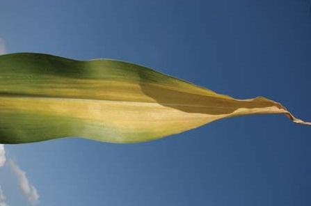 Дефицит азота у кукурузы Стадия II