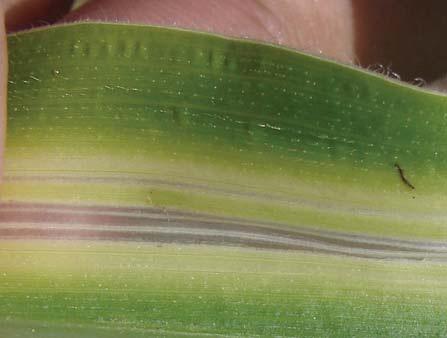 Дефицит бора у кукурузы