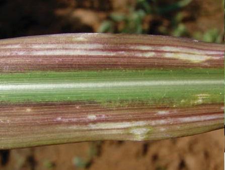 Дефицит магния у кукурузы