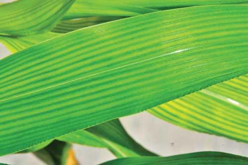 Дефицит марганца у кукурузы