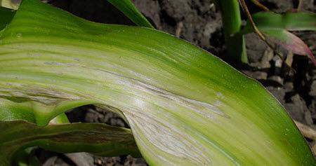 Дефицит цинка у кукурузы