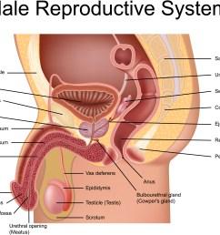 prostate gland anatomical view [ 3168 x 2524 Pixel ]