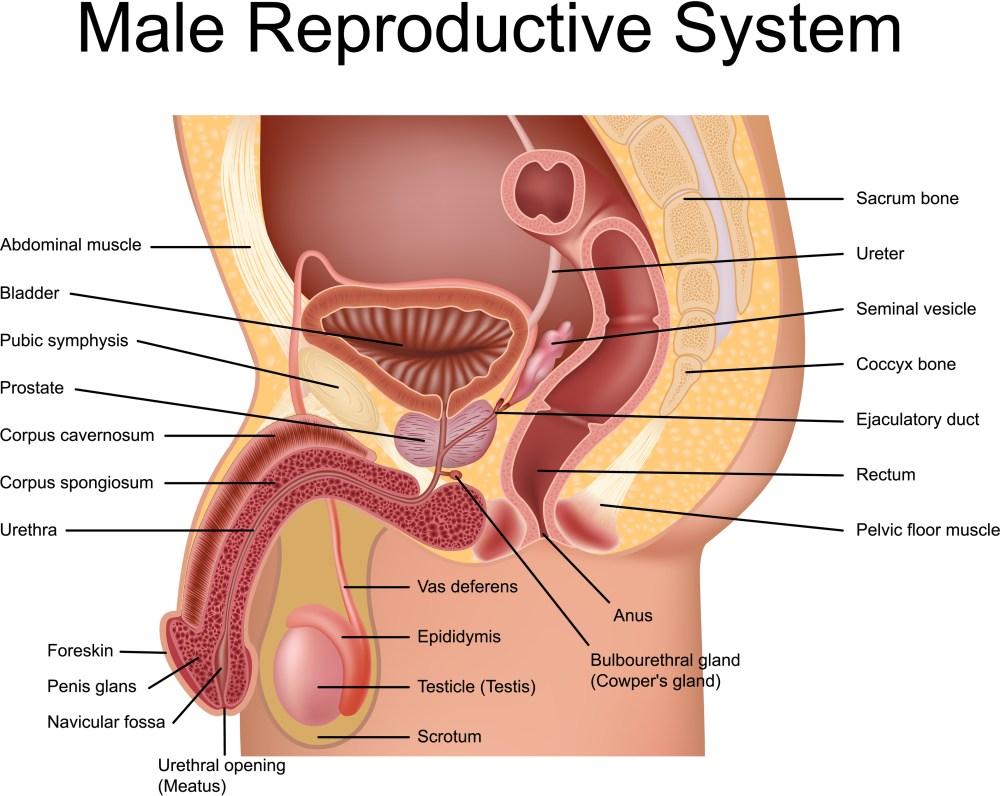 medium resolution of prostate gland anatomical view
