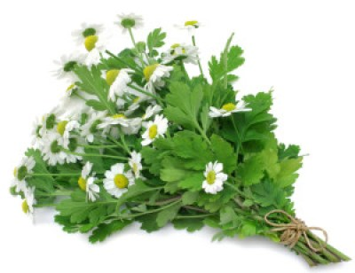 feverfew -- how to overcome migraines naturally
