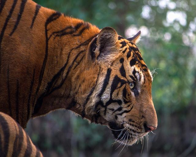tigre-raya-rayas-ortografía-traductor-redactor-corrector