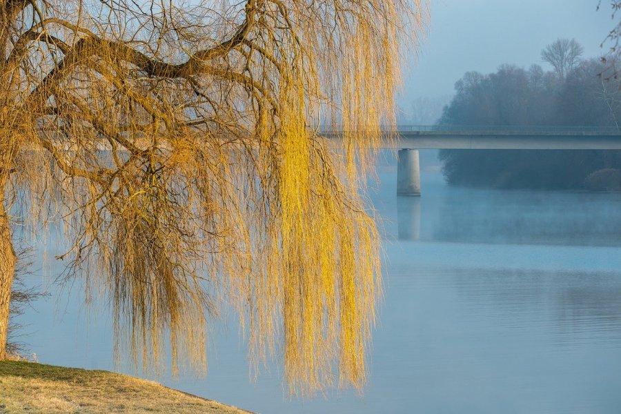 Sauce llorón frente a lago y puente