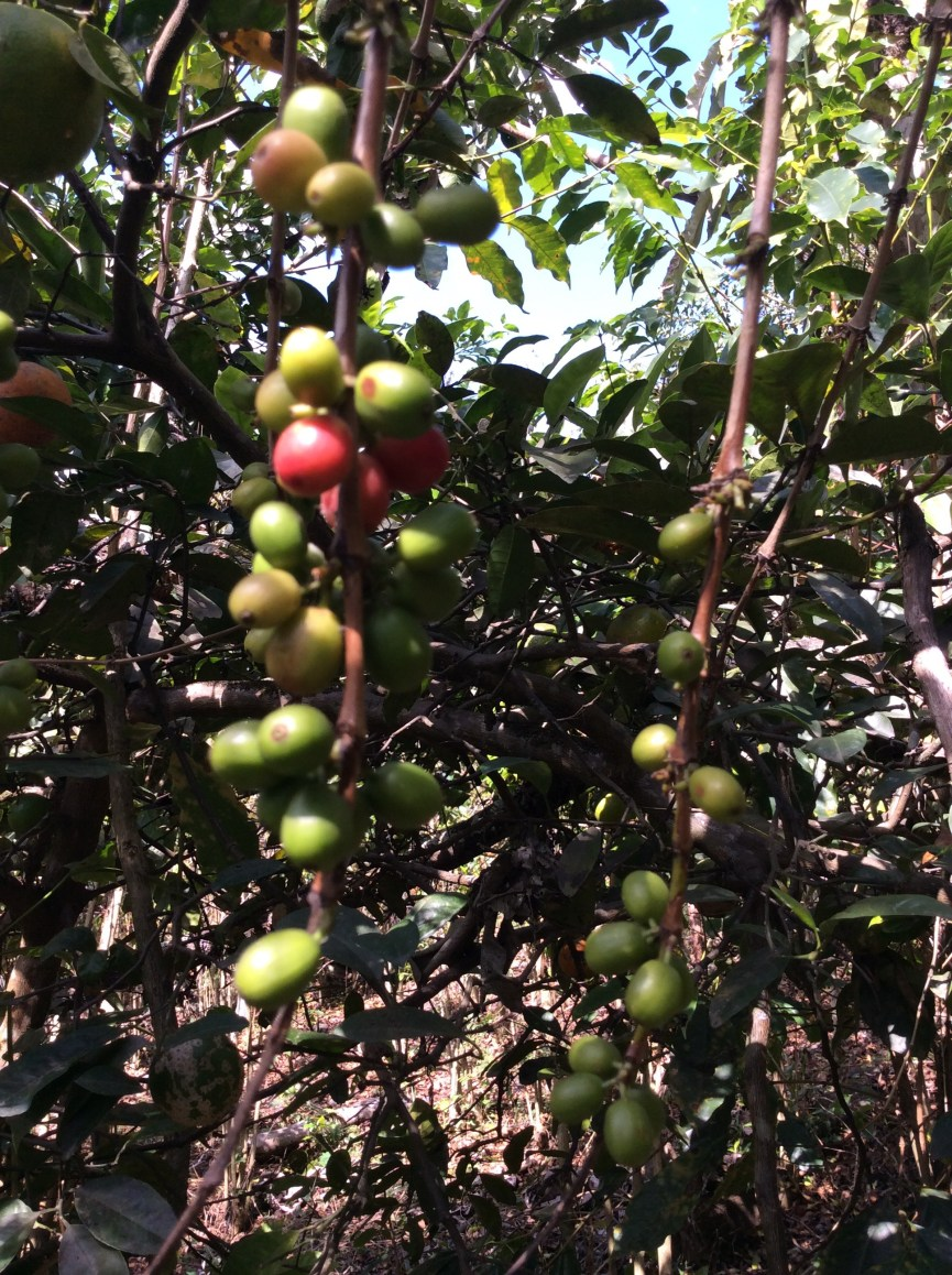 Coffee tree berries in Peru