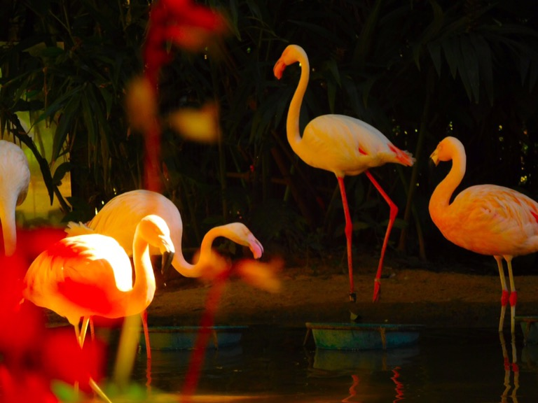 Flamingoes at Brazilian Bird Park, Iguazu Falls