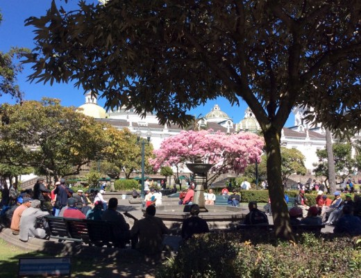 View of trees and cherry blossoms in Plaza Grande, Quito