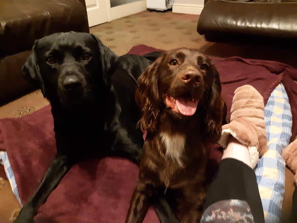 cocker spaniel and labrador