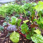 Swiss chard and parsley I grow for juicing in my garden