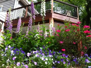 Foxgloves in my June Garden
