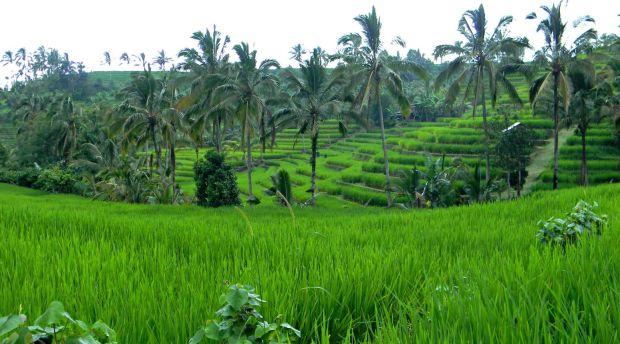 Bali arrozales