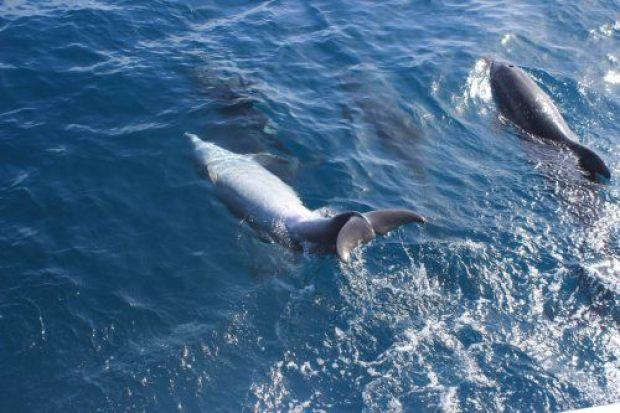 119 Delfín mular jugando