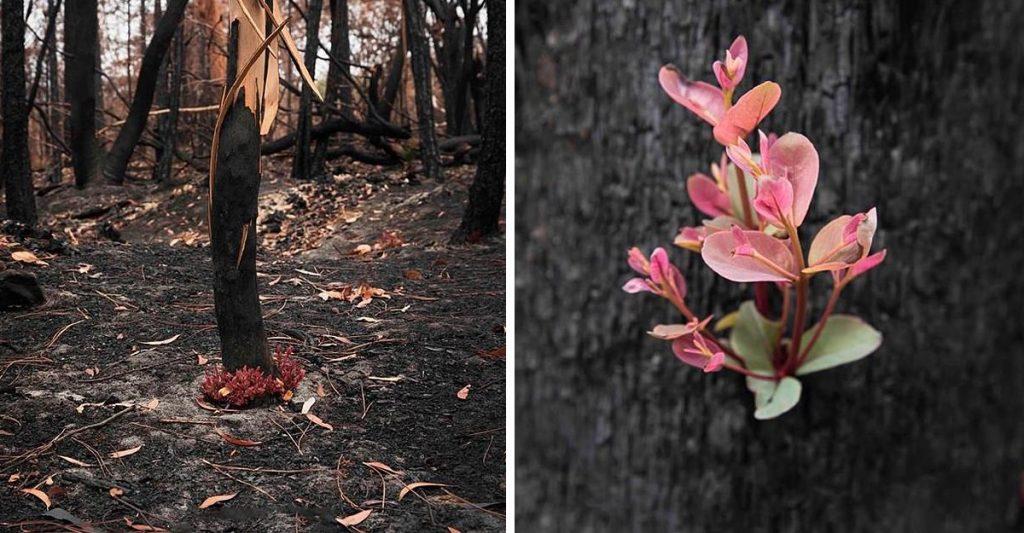 Los bosques de Australia se niegan a morir y la vida se abre camino entre las cenizas