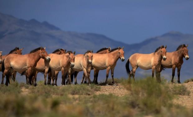 cavalli-mongoli